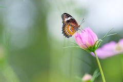 Monarch butterfly seeking nectar on a flower. Monarch butterfly seeking nectar on a cosmos flower with copy space, beautiful picture royalty free stock images