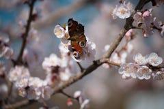 Monarch butterfly seeking nectar on a flower. Monarch butterfly seeking nectar on apricot flower stock photo