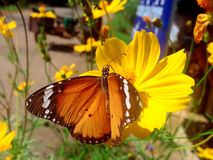 Monarch butterfly. Seeking nectar on a flower royalty free stock photography
