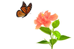 Monarch butterfly seeking nectar. On a flower on white background using path Royalty Free Stock Photography
