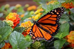 Monarch Butterfly with Flowers. Monarch butterfly seen resting on colorful lantana flowers royalty free stock photography