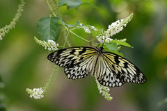 Monarch butterfly, Sentosa. Monarch butterfly in Sentosa, Singapore stock image