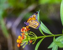 Monarch butterfly settle on a flower. A beautiful monarch butterfly settle on orange flowers stock images