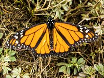 Monarch butterfly showing wings on green grass. Yellow monarch butterfly showing wings on green grass in sunny weather stock images