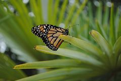 Monarch Butterfly Side Veiw on Plant. This Monarch Butterfly is resting on a Plant in the garden.  This is the side view royalty free stock images