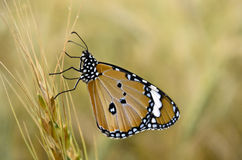 Monarch Butterfly side view stock photo