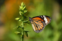 Monarch Butterfly. He monarch butterfly or simply monarch is a milkweed butterfly in the family Nymphalidae. Other common names depending on region include Stock Photography