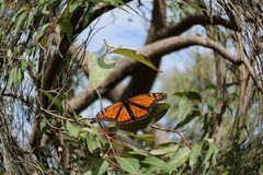 Monarch butterfly, edited using fish eye camera effect stock photography