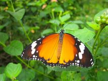 The monarch butterfly or simply monarch Danaus plexippus stock photo
