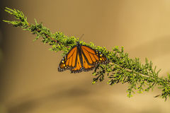 Monarch Butterfly. A single monarch butterfly on a green branch royalty free stock image