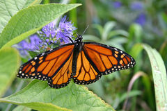Monarch Butterfly Sipping Nectar Stock Photo