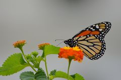 A Monarch butterfly sips nectar from a flower royalty free stock photos