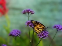 Monarch Butterfly Sit. A monarch butterfly sitting on a bushel of small flowers and sucking nectar.  Selective focus on butterfly body with background softly Stock Image
