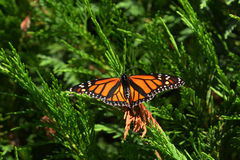 Monarch butterfly. Sit on a tree stock image