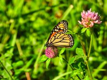 Monarch Butterfly Sits and Eats a Hot Pink Flower Bloom