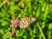 Monarch Butterfly sits and eats a hot pink flower closeup