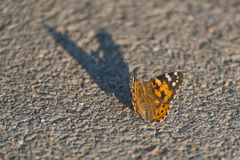 Monarch Butterfly. Monarch Butterfly sitting at asphalt stock photography