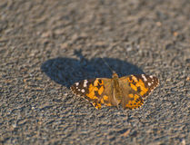 Monarch Butterfly. Monarch Butterfly sitting at asphalt stock photos