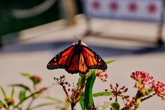 Monarch butterfly sitting atop blossoms along the Chicago riverwalk downtown. During summer stock photo