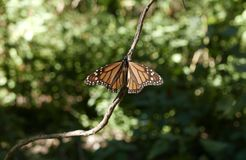 Monarch Butterfly. Sitting on a branch royalty free stock image