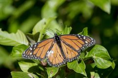 The monarch butterfly sitting on the bush. The monarch butterfly landing on the bush displaying it`s impressive and beautiful orange and black wings in the royalty free stock images