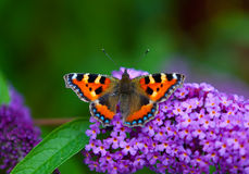 Monarch butterfly sitting on flower. Colorful monarch sitting on lilac flower royalty free stock images