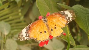 A monarch butterfly. Sitting on a flower royalty free stock images