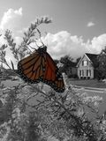Monarch. Butterfly sitting on a flower. black and white Royalty Free Stock Images