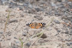 Monarch butterfly sitting on the ground royalty free stock photos