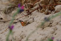 Monarch butterfly sitting on the ground royalty free stock image