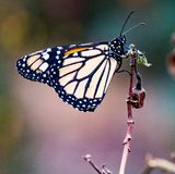 Monarch Butterfly sitting on a plant stem. Monarch Butterfly Danaus plexippus sitting on a plant stem stock image