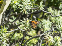 Monarch butterfly sitting on a plant in the sun. Brown, orange monarch butterfly, with black segment dividers and white dots sitting in the sun on a plant stock photo