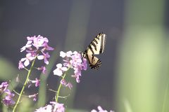 A monarch butterfly sitting on a purple flower. On a sunny day royalty free stock photo