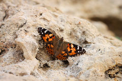 Monarch Butterfly. Sitting on a rock Royalty Free Stock Photo