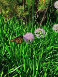 Monarch butterfly sitting on the side of chive blossoms blooming along the Chicago riverwalk downtown. stock photography