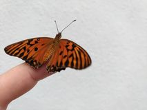 Monarch butterfly sitting on the tip of the finger, white background, Caption space,. Monarch butterfly sitting on the tip of the finger, Monarch butterfly royalty free stock photos