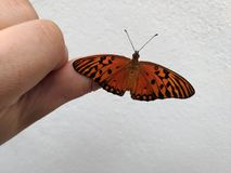 Monarch butterfly sitting on the tip of the finger, white background, Caption space,. Monarch butterfly sitting on the tip of the finger, Monarch butterfly royalty free stock image