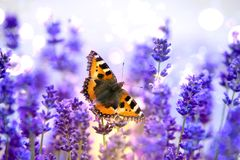 Monarch butterfly sitting on violet lavender wings wide opened