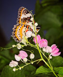 Monarch Butterfly on small pink floweers, Danaus plexippus Royalty Free Stock Image