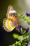 Monarch butterfly on small purple flowers.  stock photography
