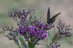 Monarch butterfly on small purple flowers Royalty Free Stock Photos