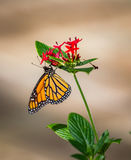 Monarch butterfly with soft background. In Florida before migration to Mexico stock photography