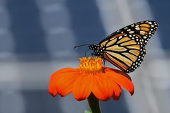 Monarch Butterfly with Solar Panels. Monarch butterfly on Tithonia diversifolia or Mexican sunflower with solar panels in background. It is a milkweed butterfly royalty free stock photography