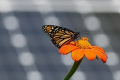 Monarch Butterfly with Solar Panels. Monarch butterfly on Tithonia diversifolia or Mexican sunflower with solar panels in background. It is a milkweed butterfly royalty free stock image