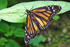 Monarch Butterfly and some green leaves Royalty Free Stock Photos