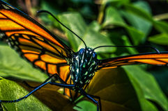 Monarch Butterfly 1 Stock Images