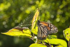 Monarch butterfly and spider web