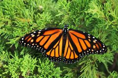 Monarch butterfly with spread opened wings royalty free stock photos