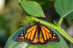 Monarch butterfly in sunlight with spread wings. A Monarch butterfly sitting on a green leaf with spread wings in the sunlight. Beautiful colors in the nature at stock photography