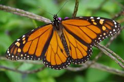 Monarch butterfly spreading its wings. Monarch butterfly Danaus plexippus spreading its wings at San Antonio Botanical Gardens in Texas royalty free stock image